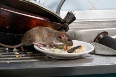 【プロが解説DIY】自力でできる!ネズミ退治の初期段階で行うべき対策