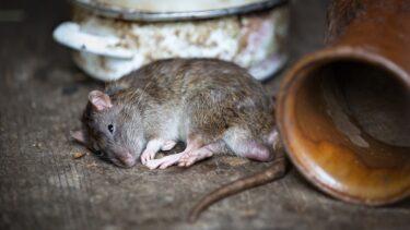 床下や天井からする嫌な臭いはネズミが原因?今すぐ行うべき対策とは