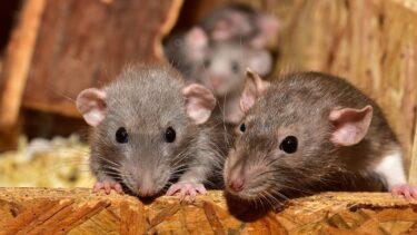 【プロが解説DIY】ネズミが嫌いなニオイって?持続時間はどれくらい?