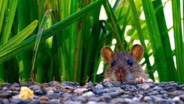 ネズミはどんなニオイ?糞尿や死骸などの発生原因とその対策について