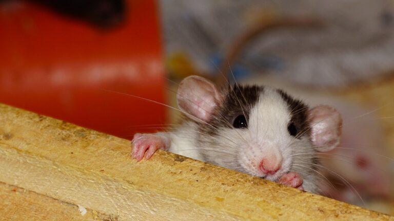 ネズミ撃退の超音波は人間の耳には聞こえる?周波数などについて