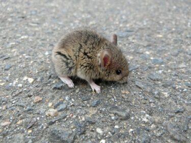 ネズミは不衛生!ウイルスや感染症など健康リスクについて解説