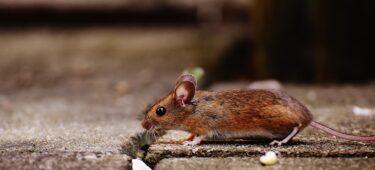 【専門家解説】ネズミ駆除専門業者の失敗しない選び方とは?