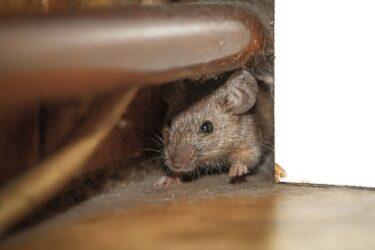 家の中にネズミの巣を発見!?駆除や対策方法を詳しく解説