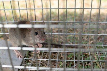 家の中にネズミのフン!?その特徴、危険性から処理方法まで詳しく解説